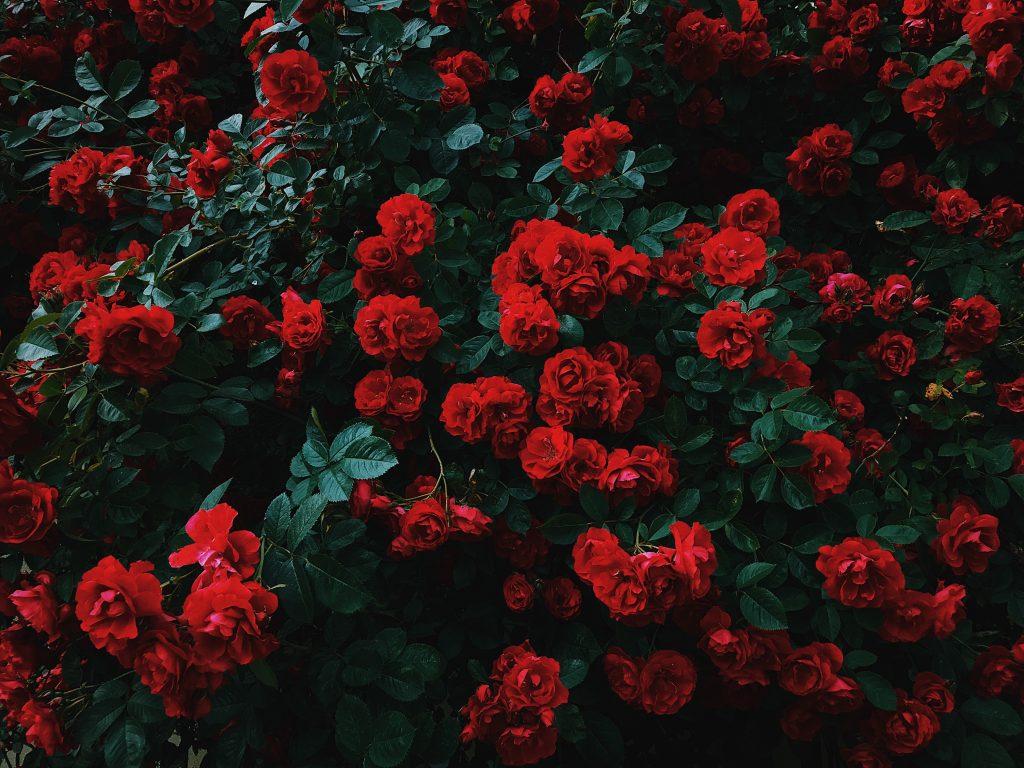 boutures de rosier