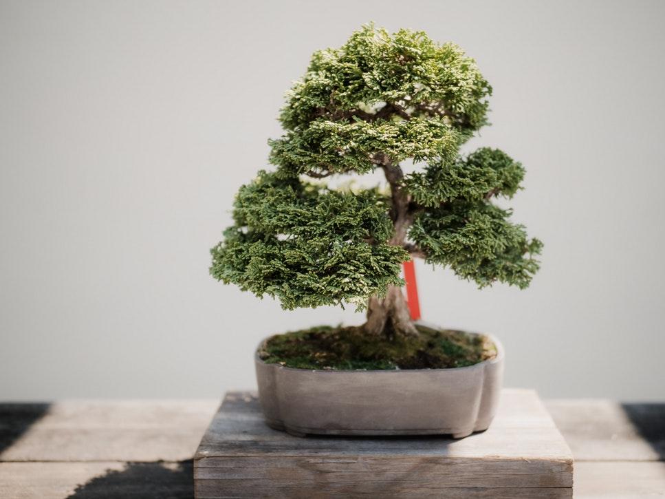 comment tailler un bonsai